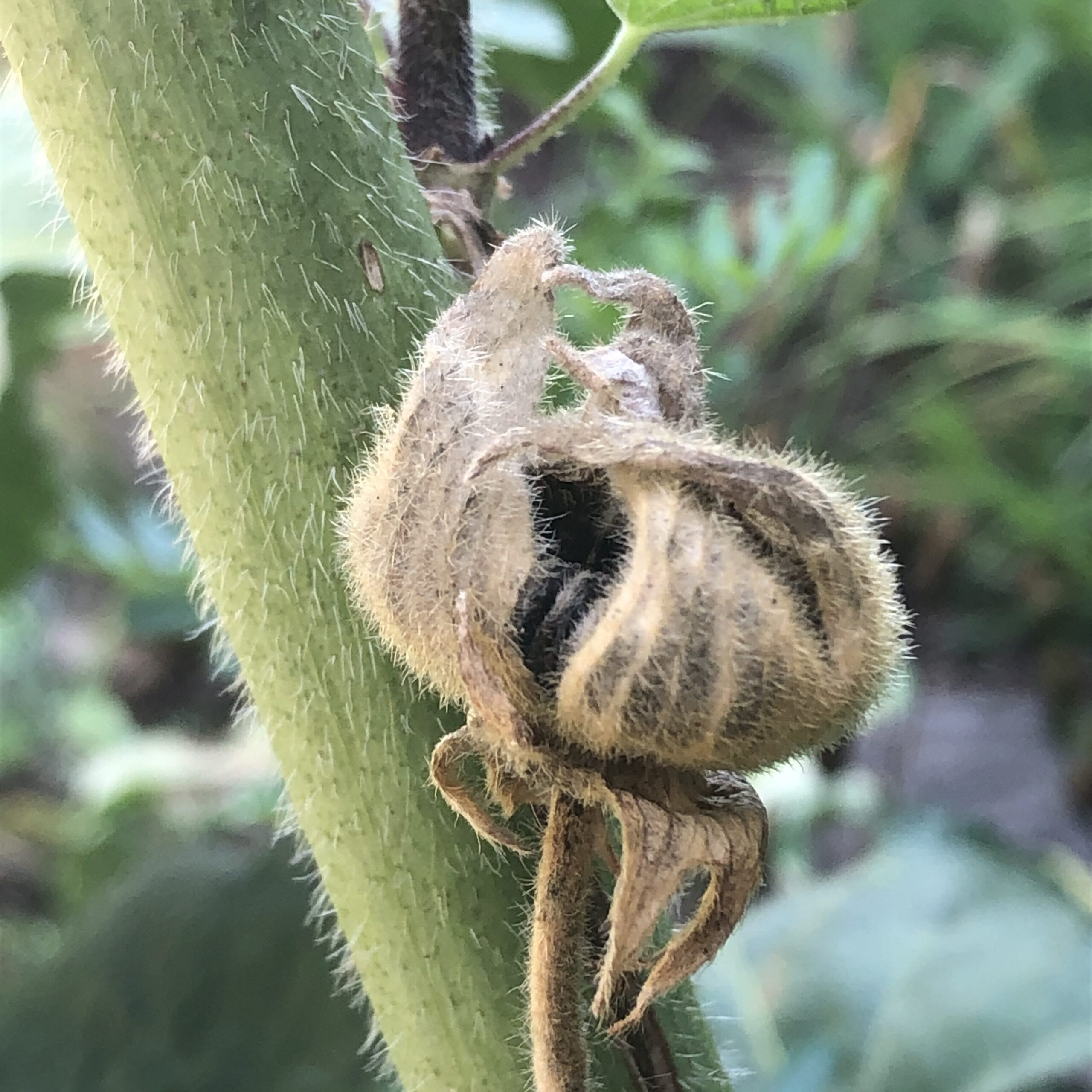 Hollyhock Seed Pod Collection 2020