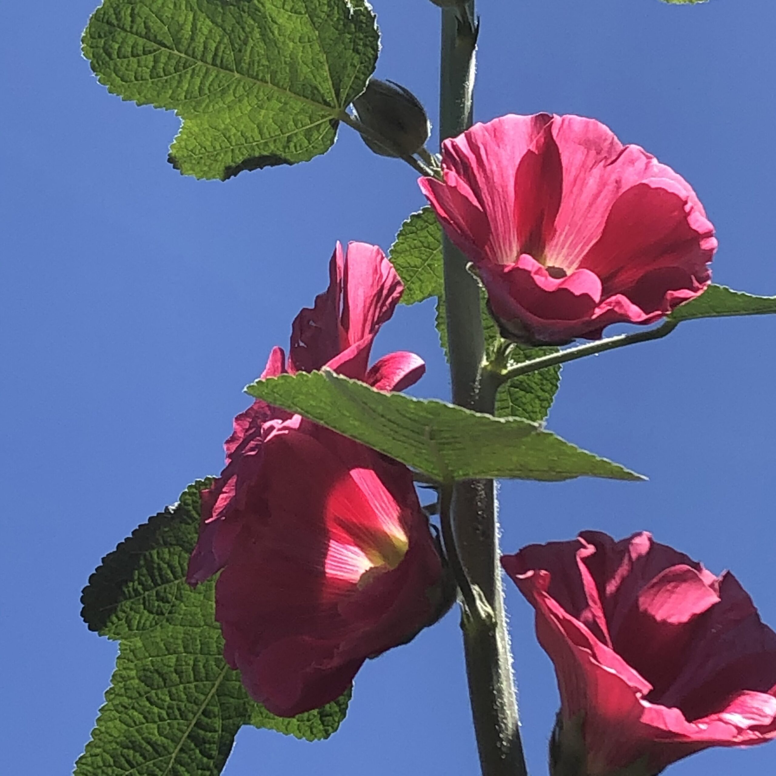 Hollyhock Seeds for Sale
